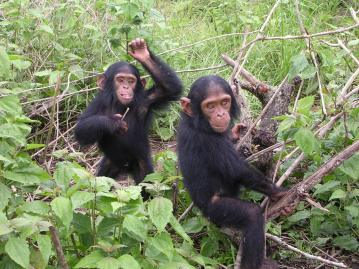 DELPHINE BRUYERE/ CC BY-SA 3.0 Humans who lived two million years ago had hearing patterns like those of chimpanzees, according to new research out of Spain and South Africa.