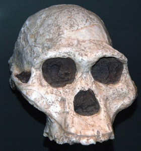 JAMES ST. JOHN/ CC BY 2.0 Australopithecus africanus had hearing that was closer to chimpanzees'.